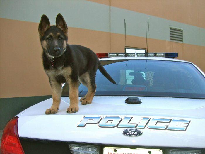 cachorro perro policía sobre un coche policial