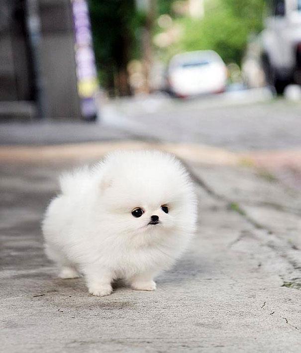 cachorro pomerania blanco uno de los perros pequeños peludos más populares del mundo
