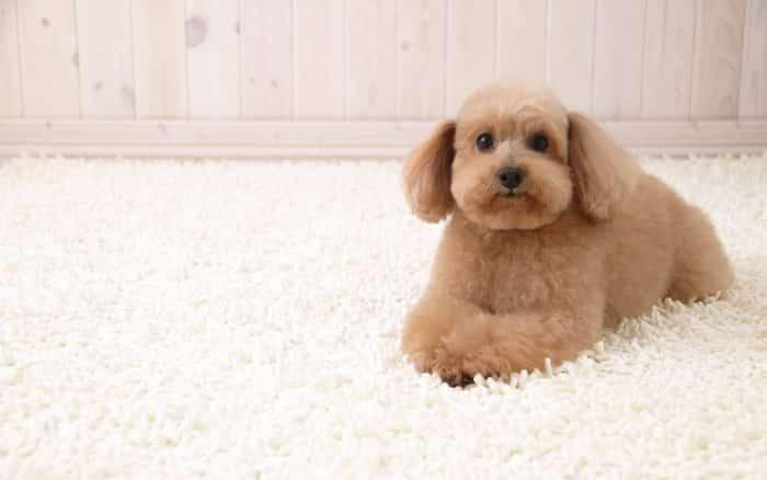caniche miniatura poodle toy sobre alfombra