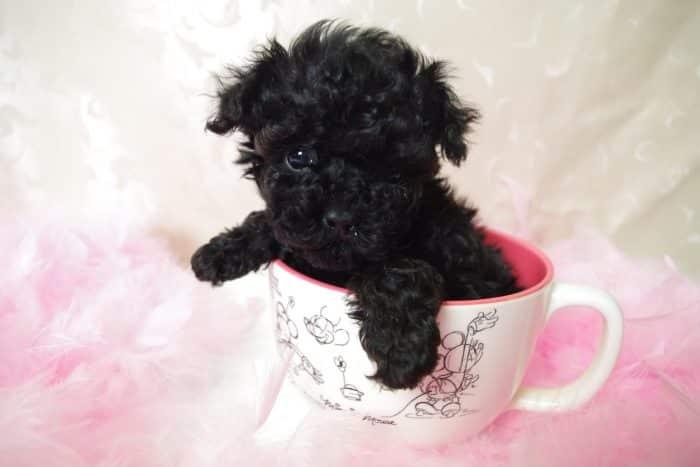 caniche pequeño o poodle toy