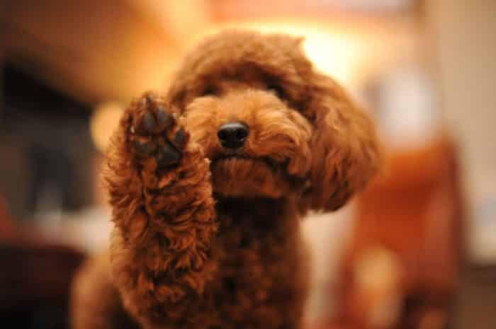 caniche poodle toy saludando