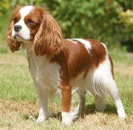razas de perros pequeños cavalier king charles spaniel