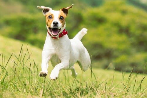 jack russell terrier cual perro ingles es mejor para un niño