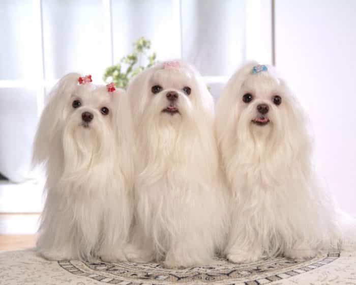 bichón maltés - cual perro peludo regalar a mi hija