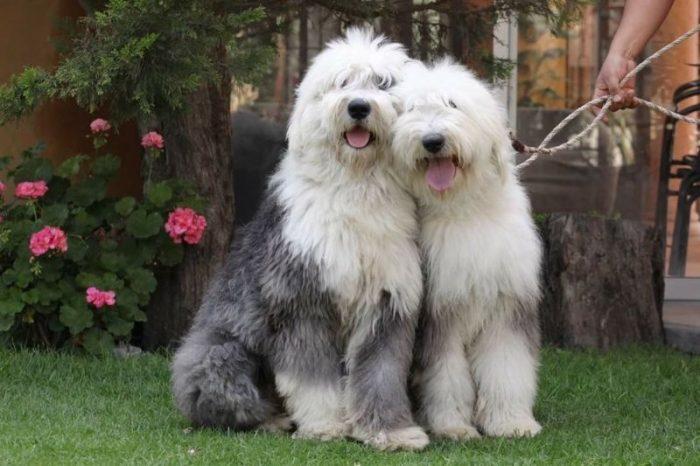 bobtail - viejo perro de pastor ingles - cual perro peludo regalar a mi hijo