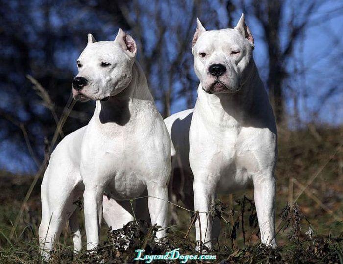 cual raza de perro agresivo es mejor