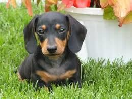 razas de perros pequeños dachshund miniatura