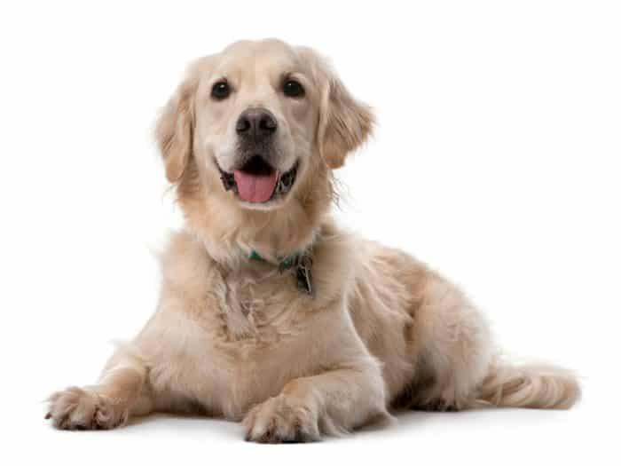 golden retriever fondo blanco