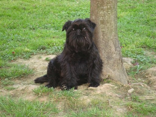 grifon belga razas de perros pequeños negros