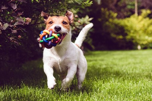 jack russell terrier corriendo con un juguete en el hocico