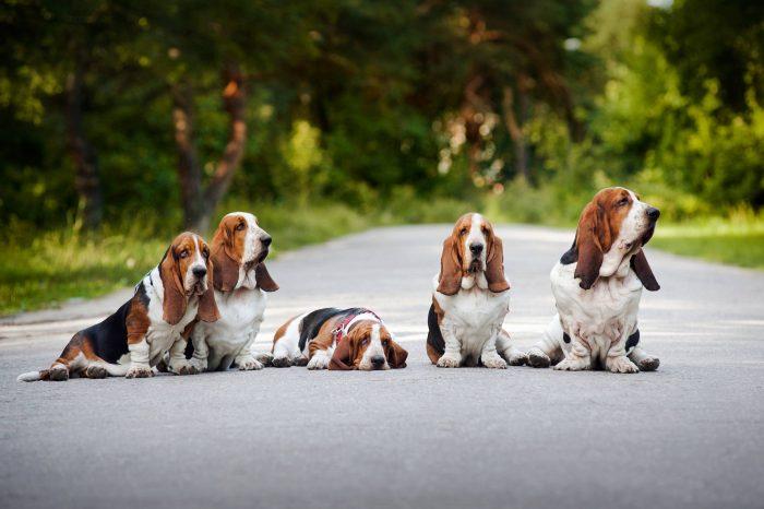 jauria basset hound