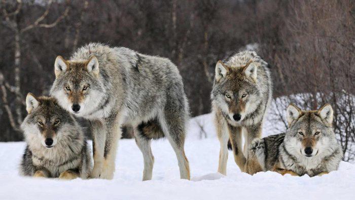 jauría de lobos