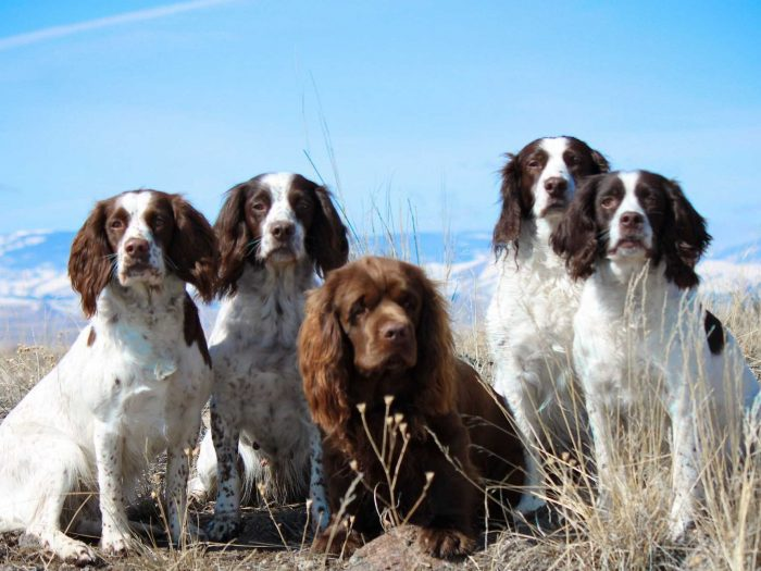 jauria english springer spaniel