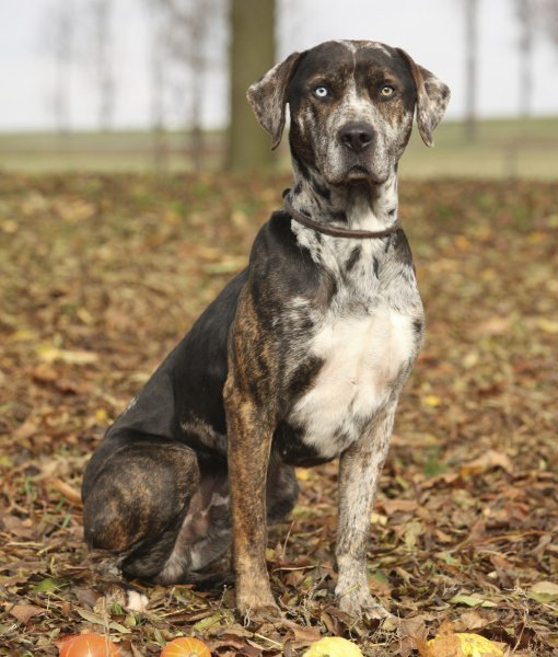 leopardo catahoula