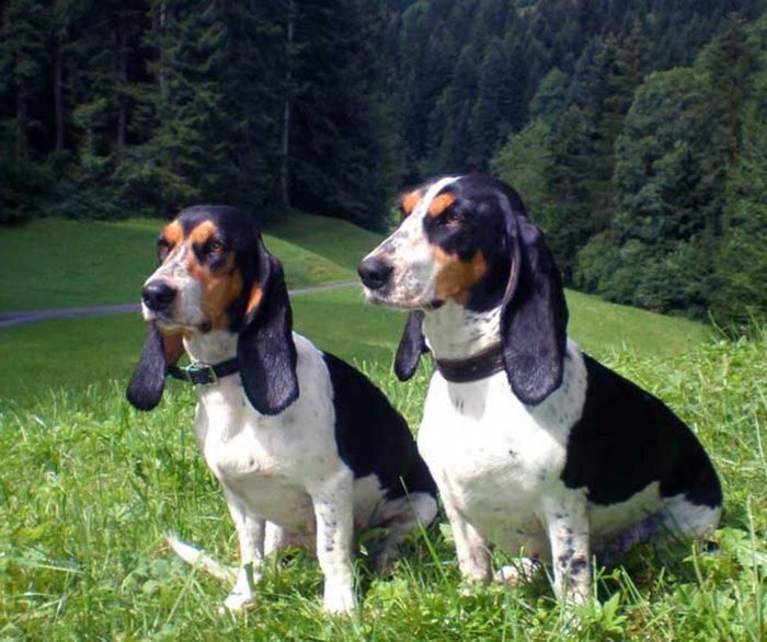 luzerner laufhund
