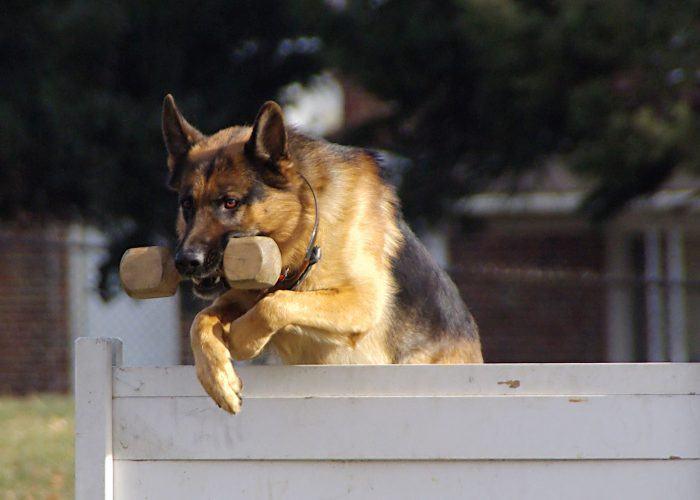 pastor alemán entrenado para convertirse en un perro policial