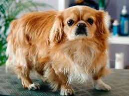 razas de perros pequeños pekines pequines