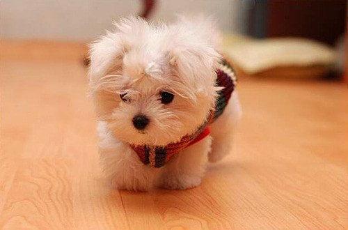 pequeño bichón maltés una de los perritos peludos preferidos para vivir en departamentos y espacios reducidos
