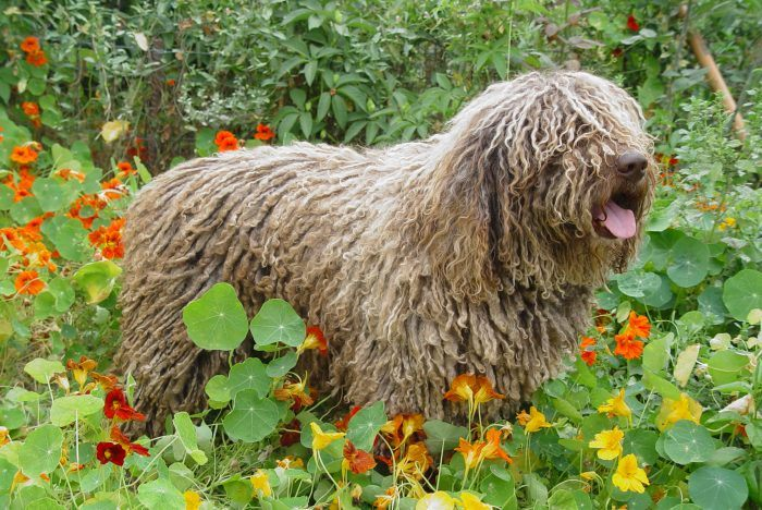 perro de agua español