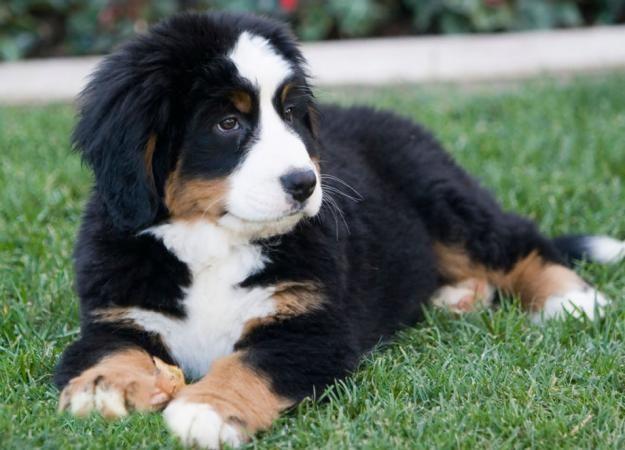 perro de montaña bernes