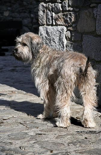 perro de pastor catalán
