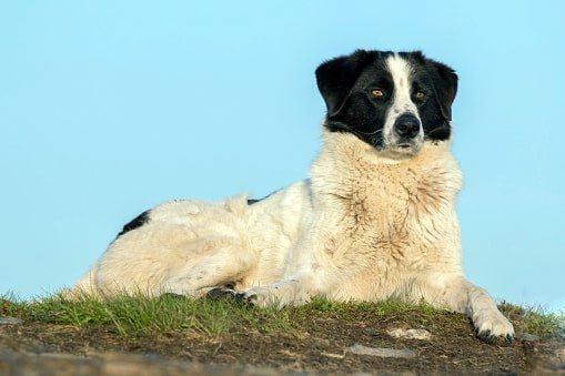 perro de pastor rumano de los cárpatos