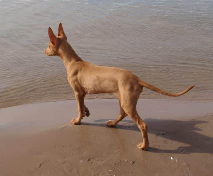 perro del faraón