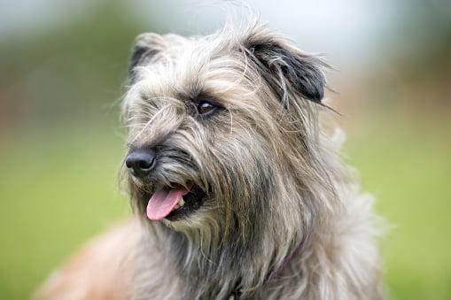 perro pastor pirineos pelo largo