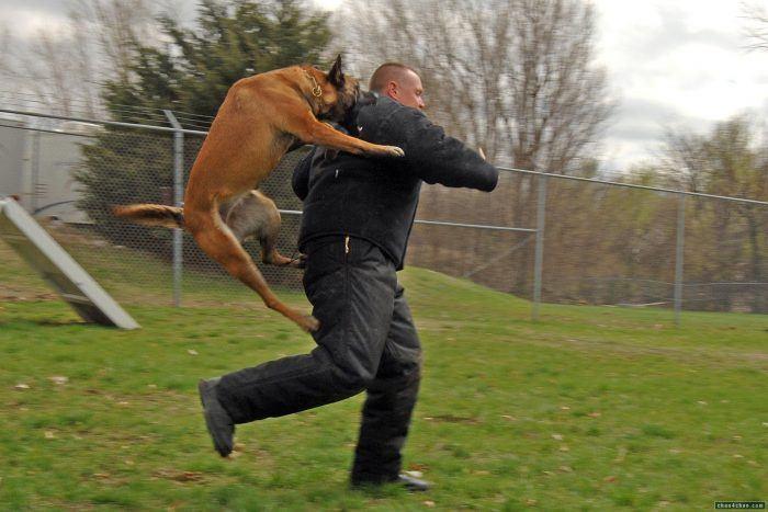 perro policia aprendiendo como atacar el cuello de un agresor
