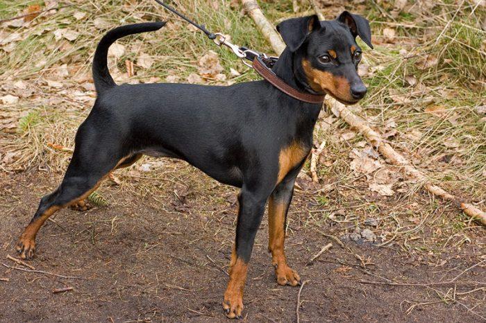 pinscher miniatura razas de perros pequeños negros