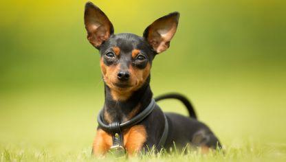 razas de perros pequeños pinscher miniatura