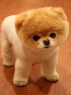 razas de perros pequeños pomerania