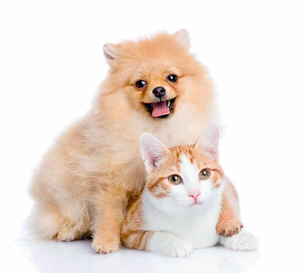 pomerania toy jugando con un gato
