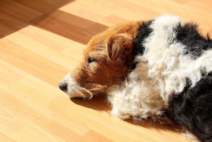 razas de perros pequeños fox terrier de pelo duro