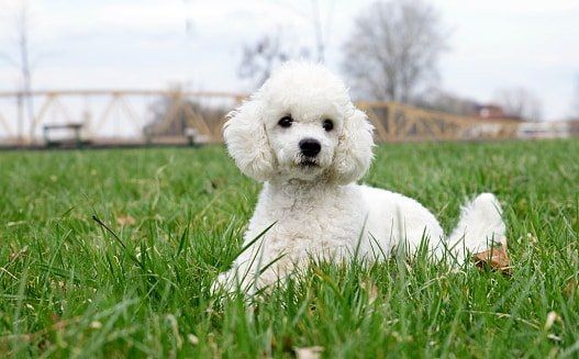 retrato de cachorro caniche poodle sobre el cesped