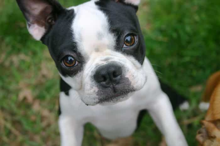 retrato de un boston terrier