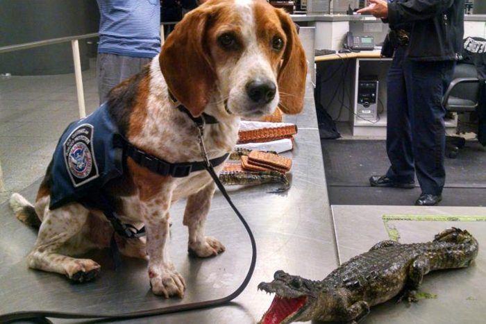 retrato de un perro de la beagle brigade junto a un caimán