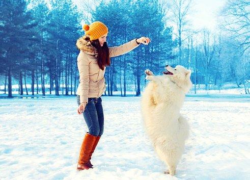 samoyedo jugando con mujer joven