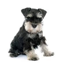 razas de perros pequeños schnauzer miniatura