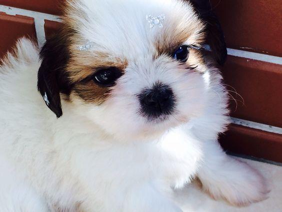 razas de perros pequeños shih tzu