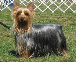 razas de perros pequeños silky terrier australiano