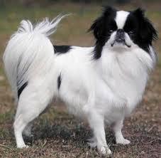 razas de perros pequeños spaniel japones