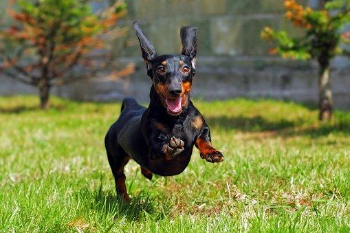 teckel dachshund perro salchicha corriendo