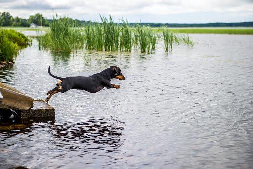 dachshund - teckel saltando a un lago