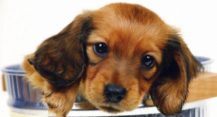 variedad de perros que sueltan poco pelo