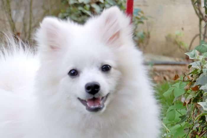 volpino italiano razas de perros pequeños blancos