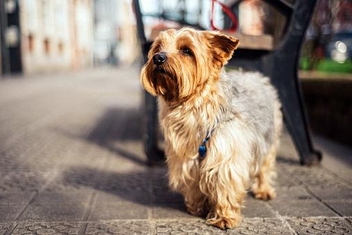 yorkshire terrier junto a una banca