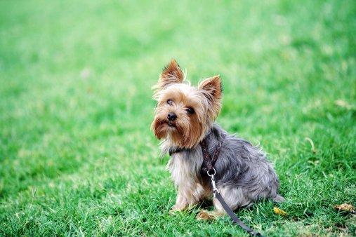 yorkshire terrier mirando camara