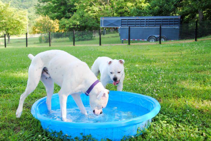 2 dogos argentinos refrescándose en una fuente con agua