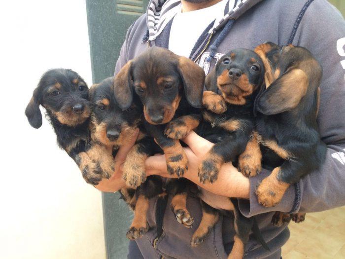 5 cachorros teckel en brazos de un criador